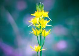 verein-naturerlebnisse-FloraFauna-moorlilie